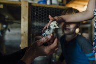 Cropped hands of grandmother showing baby chicken to grandchildren in barn - CAVF58491