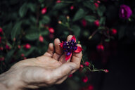 Cropped hand of mature woman touching flowers at greenhouse - CAVF58500