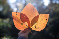 Cropped image of hand holding orange leaves - CAVF58623