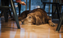 Close-up of dog lying on hardwood floor at home - CAVF58716
