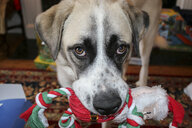 Close-up portrait of dog carrying Santa Claus Toy in mouth at home - CAVF58725