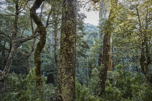 Chile, Puren, Nahuelbuta National Park, Araucaria forest - SSCF00152