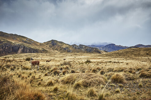 Chile, Valle Chacabuco, Parque Nacional Patagonia, steppe landscape at Paso Hondo with vicunas in background - SSCF00248