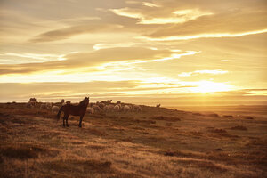Chile, Tierra del Fuego, Porvenir, horse and sheep on pasture at sunset - SSCF00266