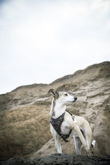 Denmark, North Jutland, Lonstrup, dog on rock - REAF00496