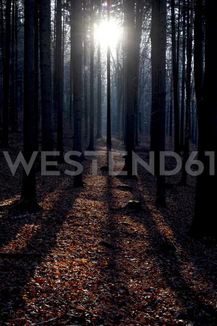 Tree trunks at backlight in autumn - JTF01153 - Thomas Jäger/Westend61