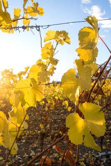 Germany, Wuerzburg, vineyards at Wuerzburger Stein in autumn, focus on foreground - NDF00837