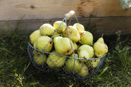 Harvested Williams pears in a wire basket - EVGF03393