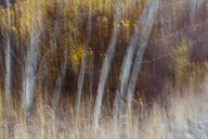 Blurred motion, a forest of aspen trees in autumn, straight white tree trunks, abstract. - MINF09725