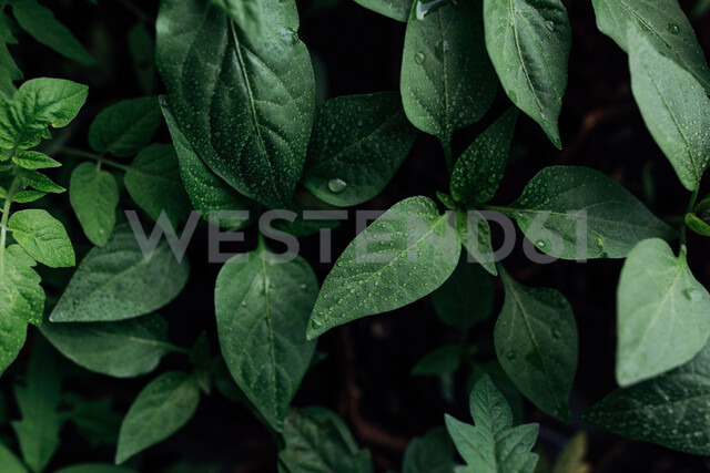 Close-up shot of green leaves - INGF10050