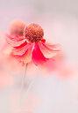 Close-up shot of a pink flower - INGF10053