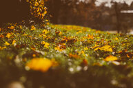 Nature shot of yellow maple leaves on the grass during autumn - INGF10336