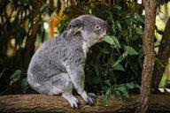 Australia, Brisbane, Lone Pine Koala Sanctuary, koala eating eucalyptus leaves - GEMF02671