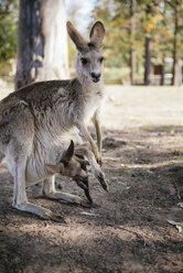 Australia, Brisbane, female kangaroo with baby in pouch - GEMF02686