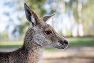 Australia, Brisbane, portrait of kangaroo - GEMF02689