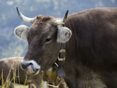 Germany, Allgaeu, brown cattle, bull with bell - WIF03702