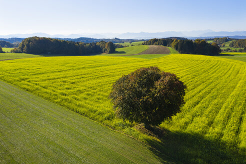 Germany, Upper Bavaria, Aerial view of rape field and tree near Muensing - SIEF08232