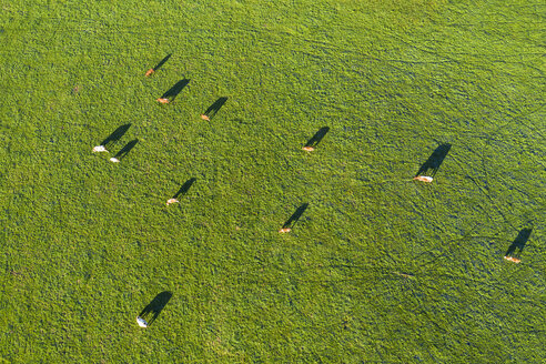 Germany, Upper Bavaria, Aerial view of cows on pasture near Muensing - SIEF08235
