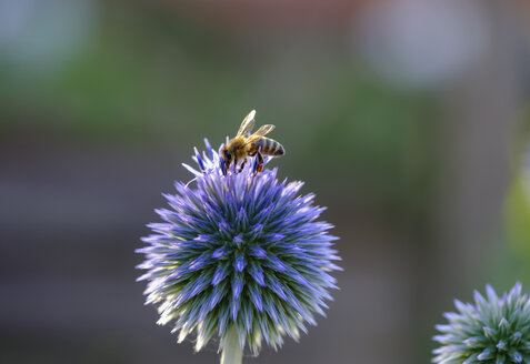 Honey bee, Apis mellifera, on southern globethistle, Echinops ritro - SIEF08239