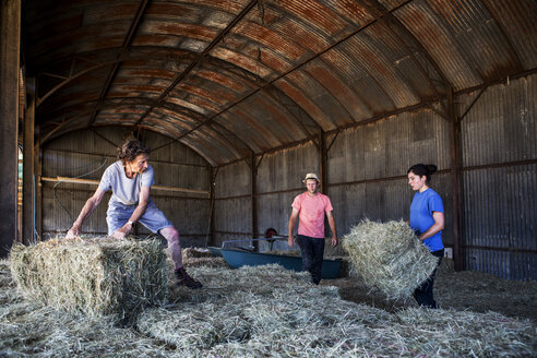 Three farmers stacking hay bales in a barn. - MINF09736