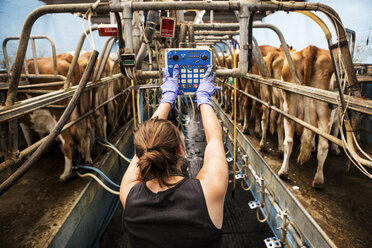 Rear view of young woman standing in a milking shed, milking Guernsey cows. - MINF09772
