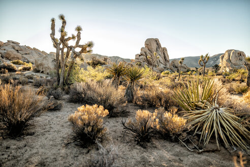 USA, California, Los Angeles, Joshua Tree National Park in sunshine - DAWF00850