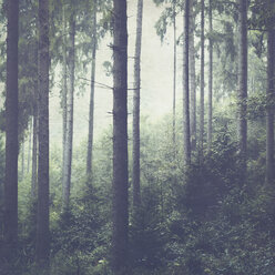 Fir forest and fog - DWIF00965