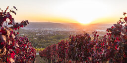 Germany, Baden-Wuerttemberg, Stuttgart Untertuerkheim, vineyards in autumn at sunset - WDF04964