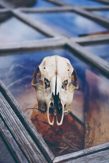 Close up shot of an animal skull placed over a window - INGF10614