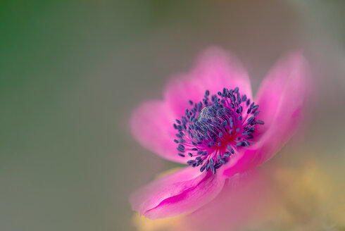 Close-up shot of a pink flower - INGF10638