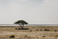 Namibia, Etosha National Park, Gnus under a tree - LHPF00200