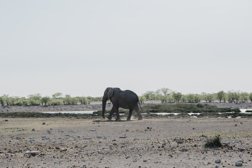 Namibia, Etosha National Park, African elephant at a waterhole - LHPF00215