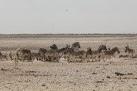 Namibia, Etosha National Park, Herd of zebras - LHPF00218
