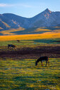 Cows grazing on field against mountain. - INGF10912