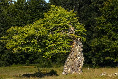 Germany, Bavaria, Lower Bavaria, Schachten near Frauenau, Bavarian Forest, Hochschachten, gnarled tree - LBF02297