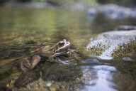 Northern red-legged frog (Rana aurora) in water - AURF07966