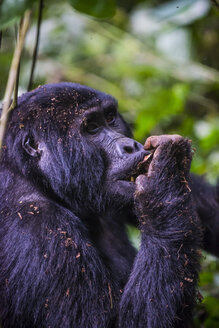 Africa, Uganda, Mountain gorilla, Gorilla beringei beringei, in the Bwindi Impenetrable National Park - RUNF00475