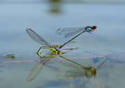 Two red-eyed damselflies in oviposition at water surface - SIEF08255