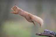 Jumping red squirrel - MJOF01624