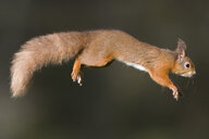 Jumping red squirrel - MJOF01627