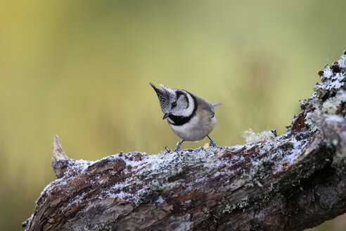 Crested tit on branch in winter - MJOF01636