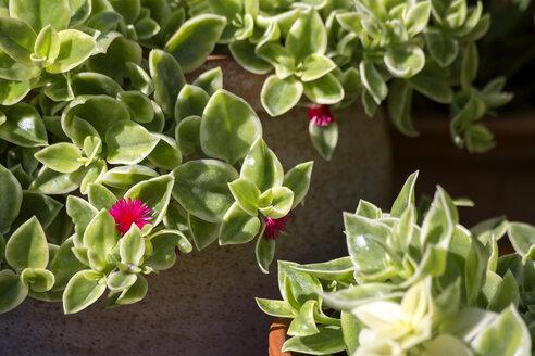 Common ice plant growing on terrace - NDF00849