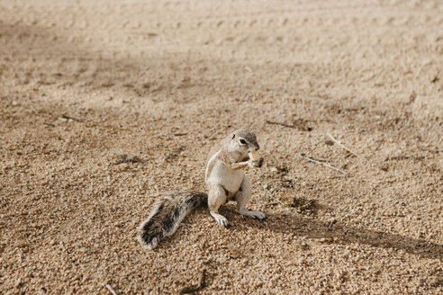 Namibia, squirrel standing in sand eating - LHPF00350