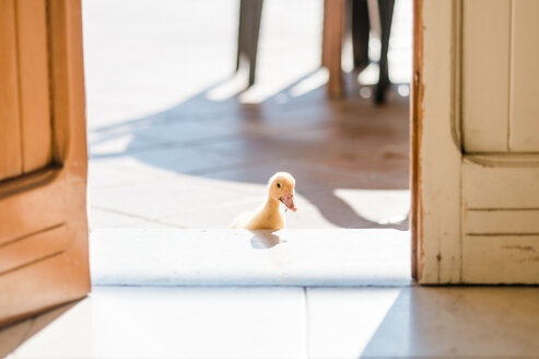 A duck in a doorway - INGF11562