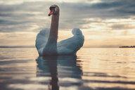 A swan in a lake - INGF11634