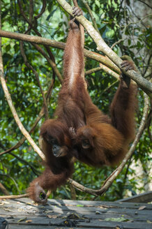 Indonesia, Sumatra, Bukit Lawang Orang Utan Rehabilitation station, feeding time for the Sumatran orangutan - RUNF00602