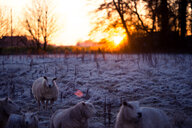 Sheep in a field during winter - INGF11884