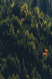 Italy, South Tyrol, Dolomites, fir trees in autumn - MMAF00727