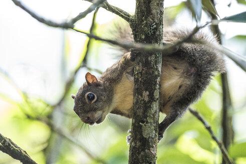 Squirrel on tree,SerrinhadoAlambariEcological Reserve, SerradaMantiqueira, RiodeJaneiro, Brazil - AURF08170