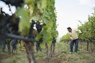 Worker raking working in vineyard among vines - HEROF03967